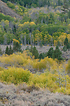 Quaking aspen (Populus tremuloides), fall, Toiyabe National Forest, California