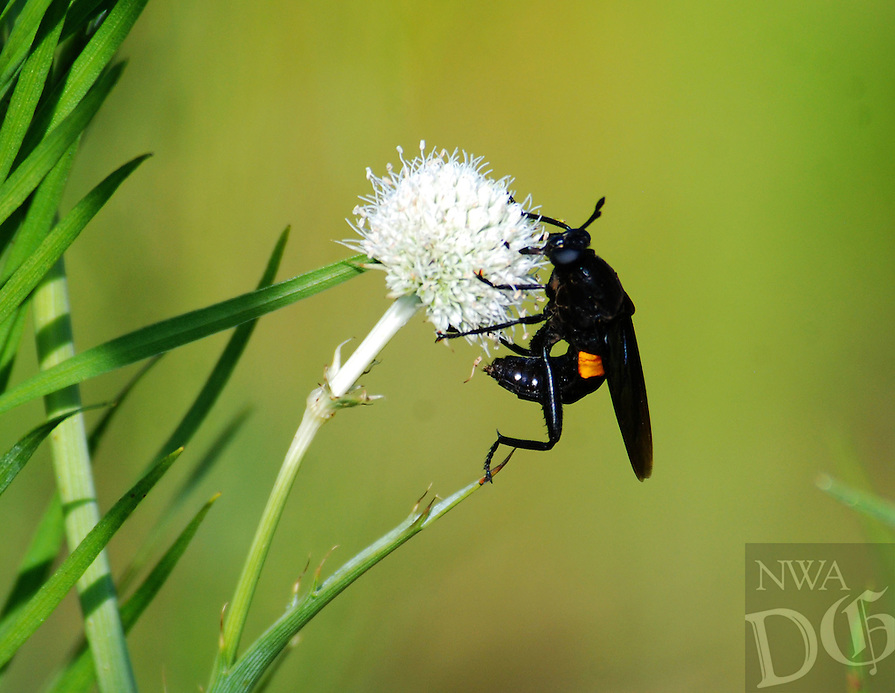 COURTESY PHOTO TERRY STANFILL<br /> A midas fly climbs on a rattlesnake master on Saturday near Gentry. Terry Stanfill of the Decatur area took the picture along the Eagle Watch Nature Trail at Swepco Lake.