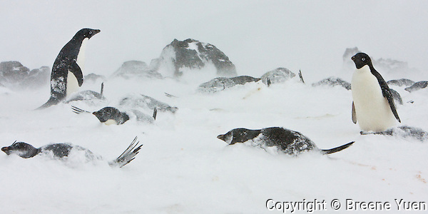 A small group of Adelie Penguins stay put during stormy weather, Turret Point, King George Island, Antarctic Peninsula, November 2007