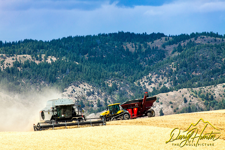 Harvesting grain on an eastern Idaho dry farm in Ririe Idaho.