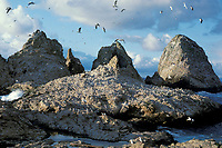 western gulls, Larus occidentalis, Farallon Islands, California, USA, Pacific Ocean