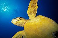 loggerhead sea turtle, Caretta caretta, swims in blue water, Bonaire, Netherland Antilles, Caribbean, Atlantic
