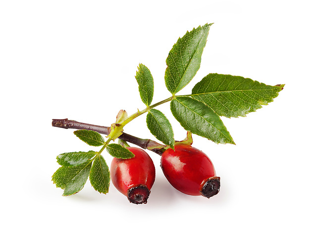 Wild Dog Rose - Rose Hip haws & leaves