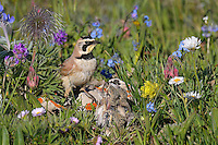 Male Horned Lark or Shore Lark (Eremophila alpestris) feeding young at nest.  Western U.S., Summer.