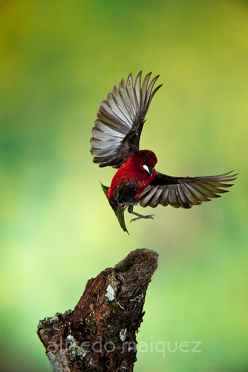 Crimson-backed Tanager (Ramphocelus d. dimidiatus), Panama, Central America