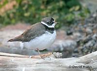 "0102-08ww  Semipalmated Plover ""Shore bird"" - Charadrius semipalmatus  © David Kuhn/Dwight Kuhn Photography."