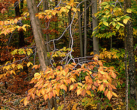 Beech trees in fall color; Green Mountain National Forest, VT