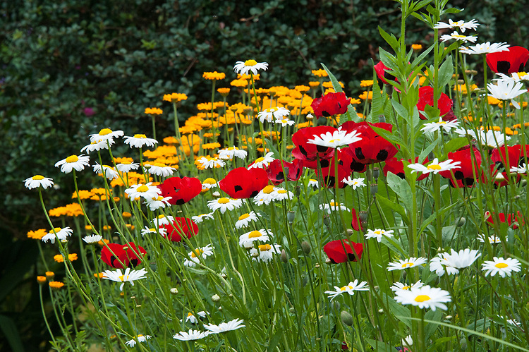 Ox-eye Daisies (Leucanthemum vulgare) and Ladybird Poppies (Papaver commutatum 'Ladybird'), early June.