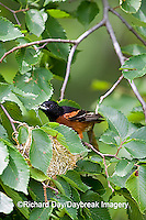 01618-011.04 Orchard Oriole (Icterus spurius) male with food at nest,  Marion Co. IL