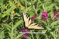 03023-02816 Eastern Tiger Swallowtail Butterfly (Papilio glaucus) on Miss Molly Butterfly Bush (Buddleia x 'Miss Molly'), Marion Co., IL