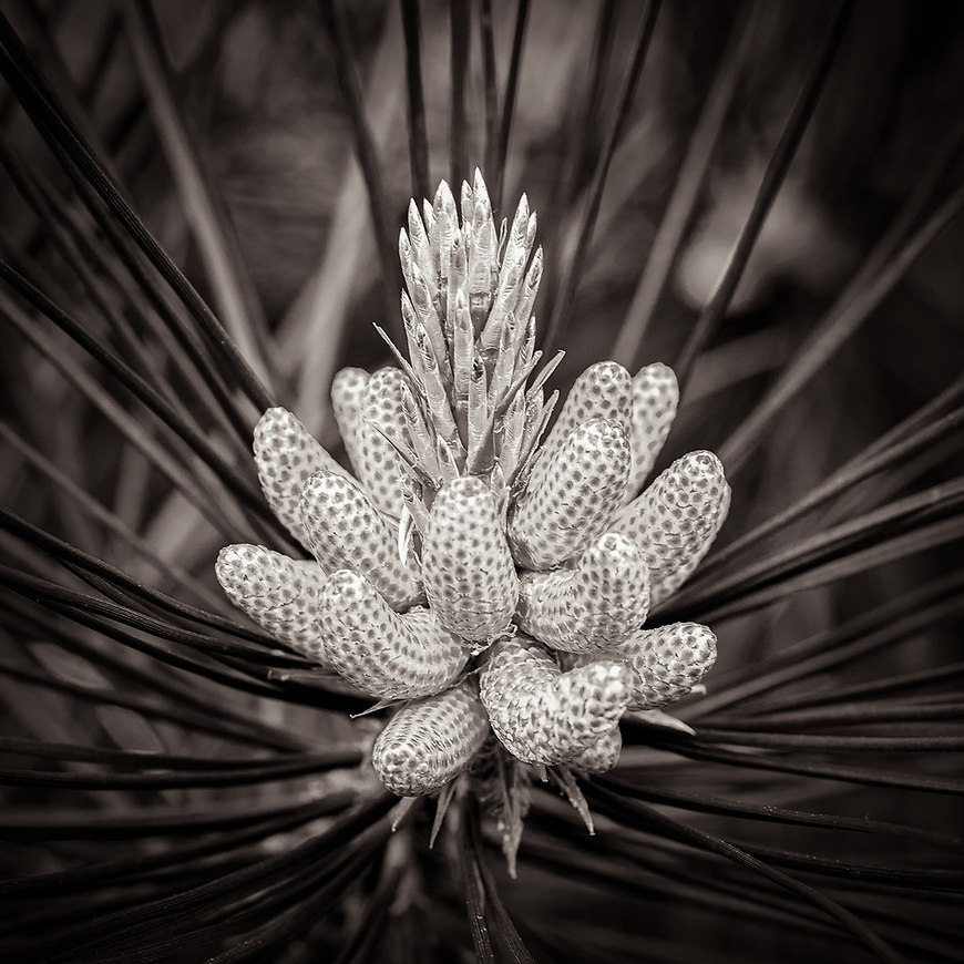 PINE CONE #michaelknapstein #midwest #midwestmemoir #blackandwhite #B&W #monochrome #instblackandwhite #blackandwhiteart #flair_bw #blackandwhite_perfection #motherfstop #wisconsin #blackandwhiteisworththefight #bnw_captures #bwphotography #myfeatureshoot  #fineartphotography #americanmidwest #squaremag #lensculture