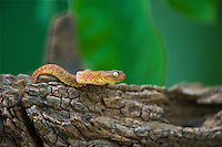 489000023 a hatchling captive variable bush viper atheris squamigera sits coiled on a large tree limb species is native to the democratic republic of the congo