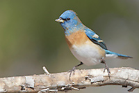 Lazuli Bunting - Passerina amoena - Adult male in transition to breeding