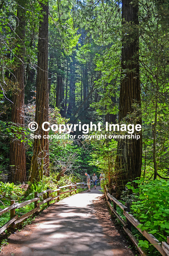 Muir Woods is world famous for its redwoods, Sequoia sempervirens. it is  located in the midst of a metropolitan region just eight miles north of San Francisco. 201304302184<br /> <br /> Copyright Image from Victor Patterson, 54 Dorchester Park, Belfast, UK, BT9 6RJ<br /> <br /> Tel: +44 28 9066 1296<br /> Mob: +44 7802 353836<br /> Voicemail +44 20 8816 7153<br /> Skype: victorpattersonbelfast<br /> Email: victorpatterson@me.com<br /> Email: victorpatterson@ireland.com (back-up)<br /> <br /> IMPORTANT: If you wish to use this image or any other of my images please go to www.victorpatterson.com and click on the Terms &amp; Conditions. Then contact me by email or phone with the reference number(s) of the image(s) concerned.