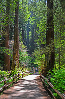 Muir Woods is world famous for its redwoods, Sequoia sempervirens. it is  located in the midst of a metropolitan region just eight miles north of San Francisco. 201304302184<br />