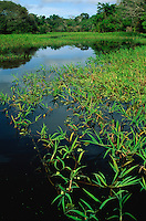 Floating grass in open channel in swamp forest (mata de igapo) in Mamiraua reserve, Brazil, Amazonas, Amazon region..