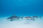 Tiger Beach, Grand Bahama Island, Bahamas; a pregnant bull shark swimming over the shallow sandy bottom with several large Cobia fish trailing close behind
