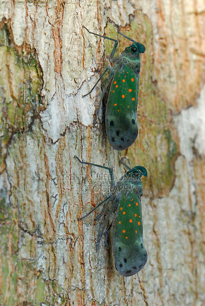 Lantern Bugs (Enchophora) Fulgoridae, perched on tree, Allpahuayo Mishana National Reserve, Iquitos, Peru