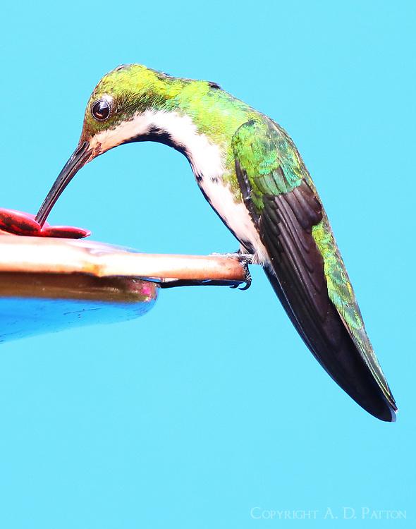 Female black-throated mango