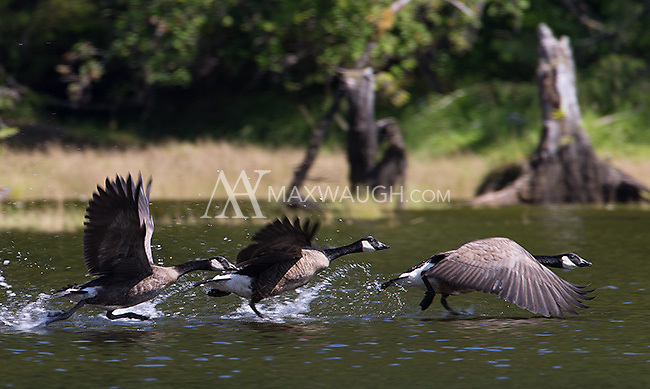 Canada geese perform a coordinated takeoff.