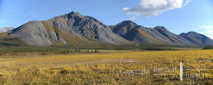 Fall colors turn the Sheenjek River valley floor to gold on a late August day, near Ambresvajun Lake(Last Lake) in the Arctic National Wildlife Refuge. STITCHED PANORAMA