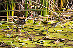 A comb Crested Jacana with a chick running across the lily pads on the Ord River, Kimberley Coast, Australia