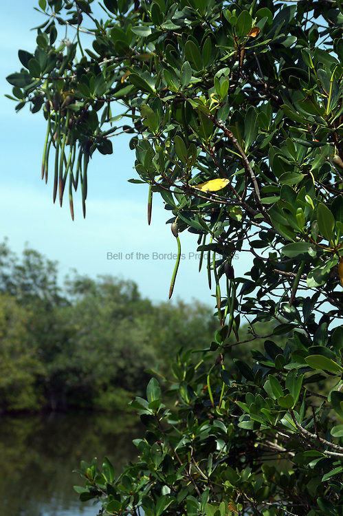 Red mangroves grow primarily on the outermost shoreline, so that their propagules usually drop into water, where they float verically until they stick into mud where they can sprout.
