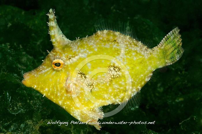 Thamnaconus modestoides, Gelber Seegras Feilenfisch, Modest filefish, Secret Bay, Gilimanuk, Bali, Indonesien, Indopazifik, Indonesia, Asien, Indo-Pacific Ocean, Asia