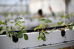 Palestinian farmer inspects hanging Strawberry plants in his green house in Beit Lahia in the northern Gaza Strip on Dec. 10, 2015. Photo by Mohammed Asad