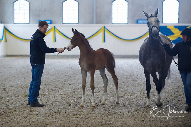 A curious foal is investigating the microphone of vet Johan Lenz during a clinic about breeding and foals.<br /> The foal's name is Keo TH (born 2010-01-30, he is about seven weeks old now, e Chirlon, u Cenita TH). The mare is Cenita TH. Breeder Kristian Hansson.<br /> At the traditional stallion show at Jan Brink's Tullstorp Dressage Stable near Hassleholm, Sweden.<br /> March 2010.<br /> Only for editorial use.