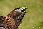 Eagle, golden eagle, aquila chrysaetos.