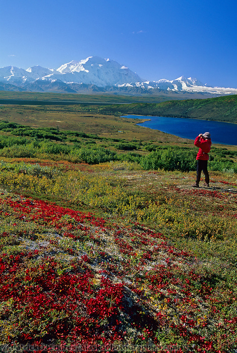 Hiker, red bearberry, Wonder lake and mount Denali, Denali National Park, Alaska