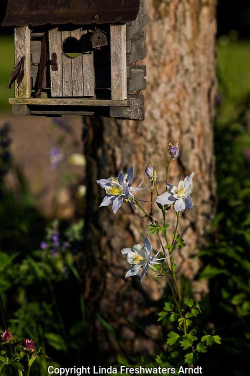 Colorado columbine, red pine, and a decorative bird house
