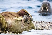 Atlantic walrus, Odobenus rosmarus rosmarus, adult, male, on the beach, Torellneset, Nordaustlandet, Svalbard, Norway, Atlantic Ocean