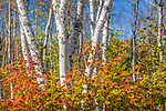 White birches and fall foliage in Penobscot County, ME