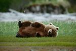 Brown bear or grizzly, Katmai National Park, Alaska