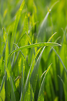 Winter Wheat plants<br /> &copy;Tim Scrivener Photographer 07850 303986<br /> ....Covering Agriculture In The UK....