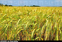 Barley field in landscape in summer in Denmark, Scandinavia, Northern Europe. (Hordeum vulgare)