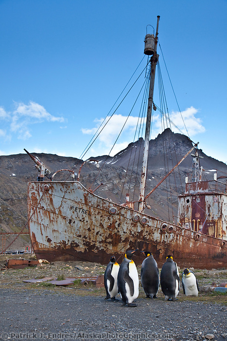 King penguins and relic ships at the old whaling station of Grytviken, South Georgia Island