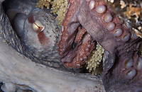 nt14. Pacific Giant Octopus (Enteroctopus dofleini) guarding eggs. Pacific Northwest..Photo Copyright © Brandon Cole. All rights reserved worldwide.  www.brandoncole.com..This photo is NOT free. It is NOT in the public domain. This photo is a Copyrighted Work, registered with the US Copyright Office. .Rights to reproduction of photograph granted only upon payment in full of agreed upon licensing fee. Any use of this photo prior to such payment is an infringement of copyright and punishable by fines up to  $150,000 USD...Brandon Cole.MARINE PHOTOGRAPHY.http://www.brandoncole.com.email: brandoncole@msn.com.4917 N. Boeing Rd..Spokane Valley, WA  99206  USA.tel: 509-535-3489