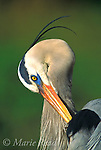 Great Blue Heron (Ardea herodias) preening, close-up, Loxahatchee National Wildlife Refuge, Florida, USA<br /> Slide # B17-81