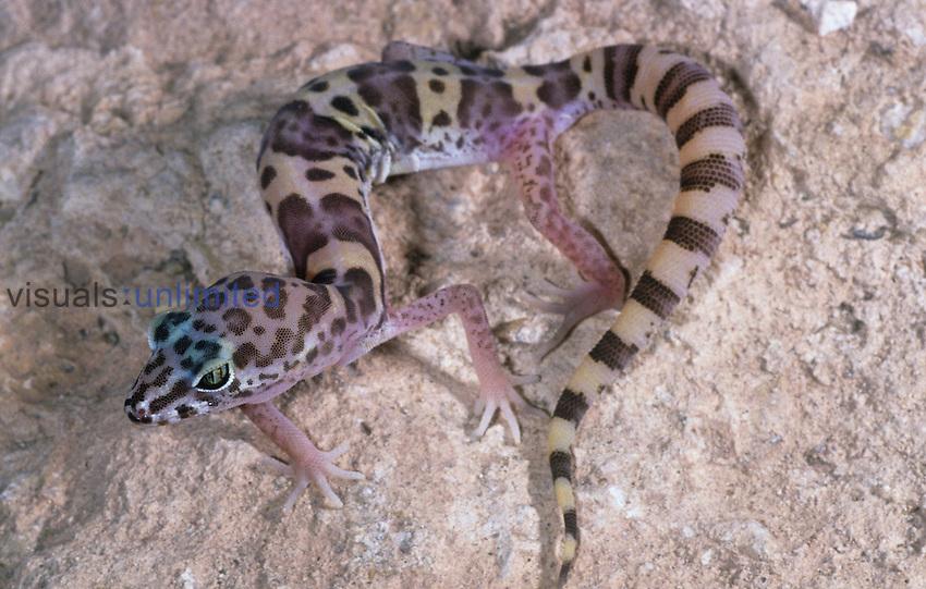 Western Banded Gecko (Coleonyx variegatus), California, USA.