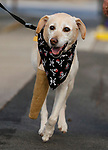 Butters, 13, particiapates in the Scallywaggers Pirate Pup Parade at the Brewery Arts Center, in Carson City, Nev., on Wednesday, Sept. 18, 2019.<br />Photo by Cathleen Allison/Nevada Momentum