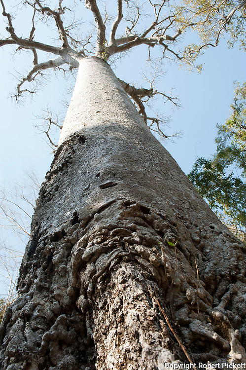 Baobab Tree, Adansonia za, Zombitse-Vohibasia National Park, Madagascar, tropical deciduous forest, view looking up tree trunk