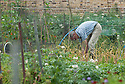 Working an allotment plot, late June.