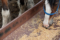 Clydesdale horses eats on a farm in Saint-Laurent, Manitoba Monday May 23, 2011. The Clydesdale is a breed of draft horse derived from the farm horses of Clydesdale, Scotland, and named after that region.