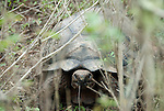 tortoise on santa cruz island is hiding in the branches