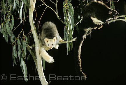 Greater Gliders (Petauroides volans) dark and light phases cohabit, feeds on canopy leaves of tall euclaypts, including Mountain Ash forests of Central Highlands. Threatened species