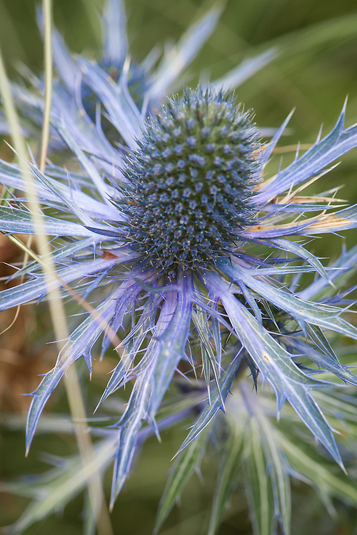 Eryngium x zabelii 'Jewel', early July.