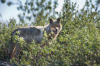 Female gray wold, Denali National Park, Alaska